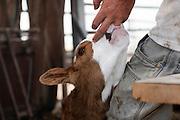 Beef cattle breeding In Israel, Mount Carmel Newborn calf sucks on farmer's fingre