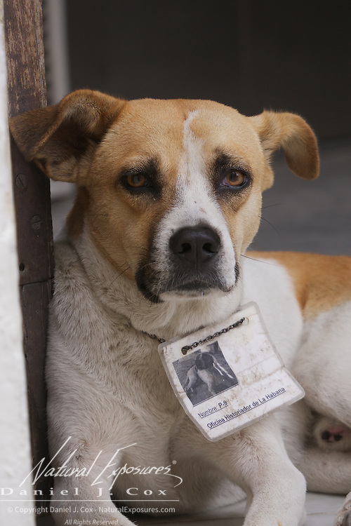 A dog with his required license around his neck on the streets of Havana, Cuba