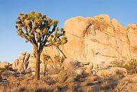 Joshua tree (Yucca brevifolia) and granite boulders, Joshua Tree National Park California
