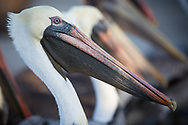 Brown Pelicans on a dock in Metairie Louisiana where people stop and feed them. The brown pelican is Lousiana's state bird and only recently taken off the endangered species list.