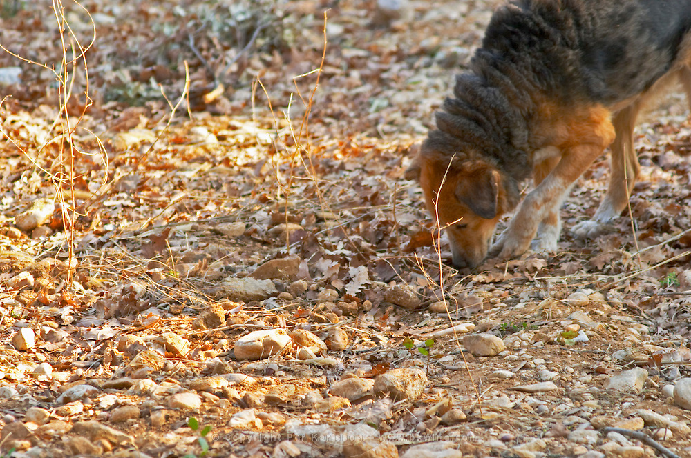 A truffle dog sniffing the ground at La Truffe de Ventoux truffle farm, Vaucluse, Rhone, Provence, France