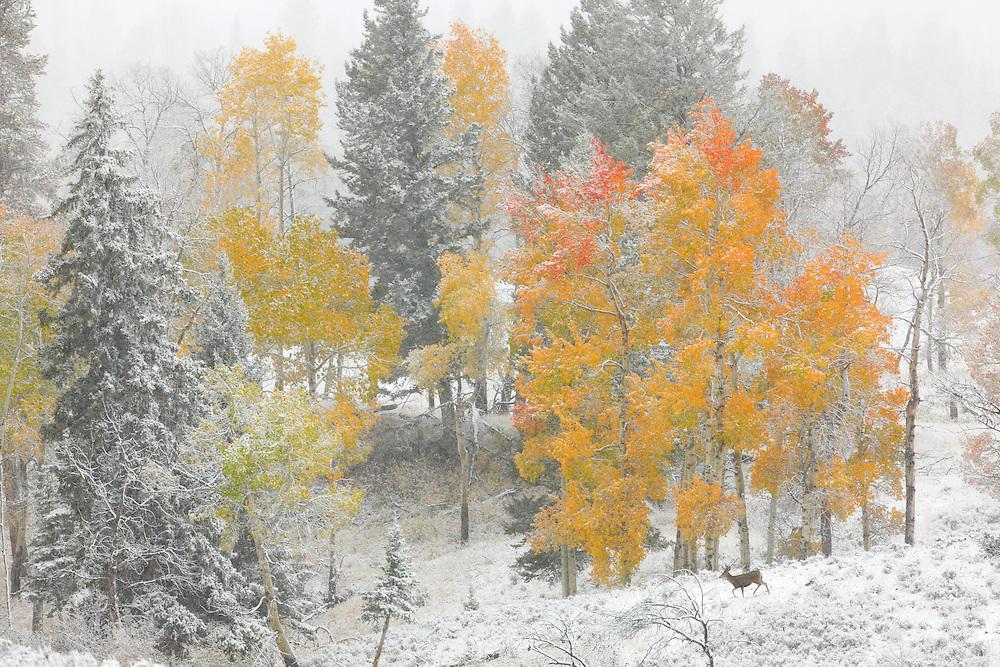 Ciervo bajo la primera nevada de otoño, Yellowstone NP, Wyoming (Estados Unidos)