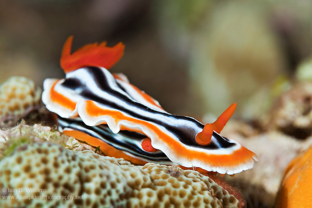 Nudibranchs move with the aid of a flat flexible foot located beneath the body.  This foot pulls the slug forward after muscular contractions occur along the body. Crawling is aided by a clear, sticky layer of mucus secreted by a specialised cell in the sole of the foot. Located beneath the skirt is the sexual organ (genitalia)