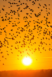 © Licensed to London News Pictures 28/11/2016, Cirencester, UK. A large starling murmuration takes to flight as the sun sets over the Cotswolds, Gloucestesrire, Uk. Photo Credit : Stephen Shepherd/LNP