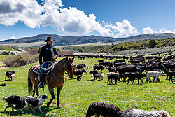 A Blackfoot Idaho rancher tending to his cows on his ranch in the mountains east of Blackfoot.<br /> <br /> My western images are not to be used for anti-grazing uses.