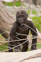Baby Gorilla at the Calgary Zoo..©2009, Sean Phillips.http://www.Sean-Phillips.com