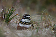 Charadrius bicinctus bicinctus (Banded dotterel)