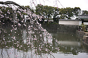 Japan, Tokyo Spring Cherry Tree Blossoming in Imperial Palace garden