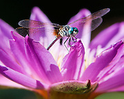 A macro shot of a dragonfly on a water lily.