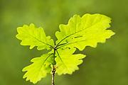 English Oak Tree Sapling, Quercus robur, Thornden Woodland, Kent UK