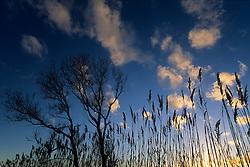 Reedbed and poplar tree in a wetland near Gallipoli