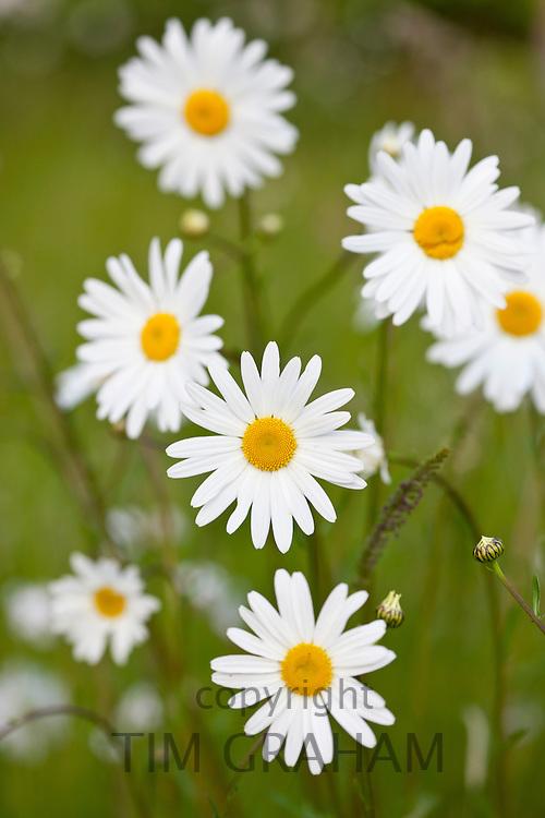Ox-eye daisies, Leucanthemum vulgare, in English country garden, UK..