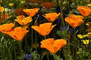 Californian poppy, Eschscholzia californica, Orange poppy flowers close up in sunlight. UK.