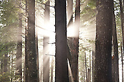 The sun bursts through the trees along the trail to Third Beach, Olympic National Forest, Washington.