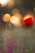 wild poppy bud, soft focus