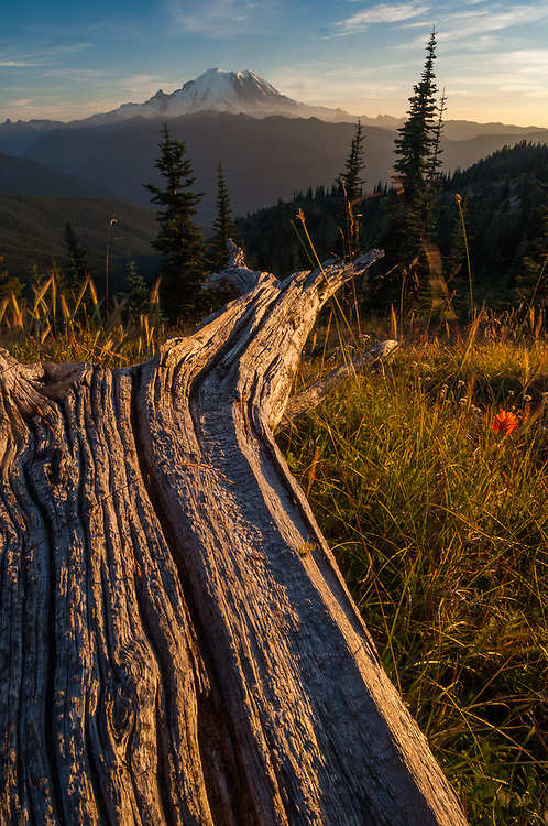 Weathered tree trunk and Indian paintbrush (Castilleja species), Mount Rainier in the distance, evening light, August, view from the Norse Peak Wilderness, Mount Baker-Snoqualmie National Forest, Washington, USA