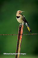 01193-00810 Northern Flicker (Colaptes auratus) male on fence post   IL