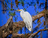 Great Egret in a tree outside Clyde Butcher's Big Cypress Galley. Image taken with a Fuji X-T2 camera and 100-400 mm OIS telephoto zoom lens (ISO 200, 400 mm, f/5.6, 1/640 sec).