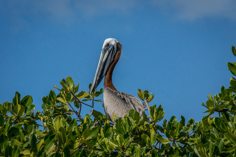 The Caribbean brown pelican is a subspecies of the brown pelican but smaller.  They typically fish as a team by circling schools of fish.