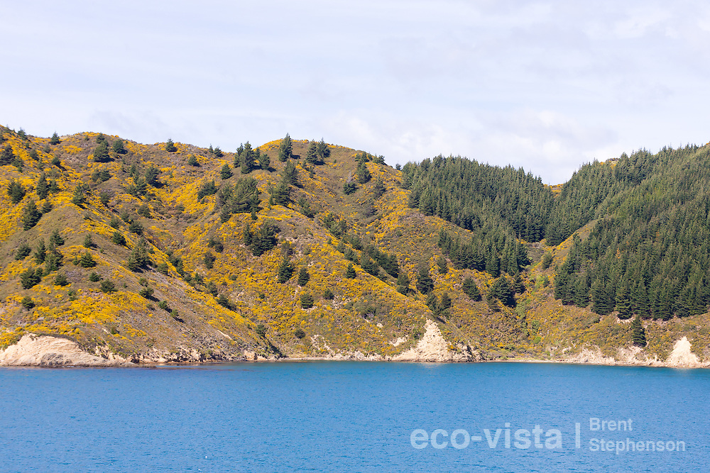 The picturesque Tory Channel belies a struggle between the introduced invasive gorse (Ulex europaeus) and Monterey pine (Pinus radiata) and the native vegetation that once cloaked the hillsides. Wilding pines growing from windblown seeds from nearby forestry blocks are very invasive and causing much concern over the future of native habitats in the area. Tory Channel, Marlborough Sounds, New Zealand. September.