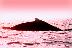 humpback whale dorsal fin,  .Megaptera novaeangliae, .each individual whale can be identified .easily by its dorsal fin shape, Hawaii (Pacific).