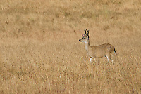 Male black-tailed deer, Odocoileus hemionus, with antlers in velvet. Point Reyes National Seashore, California
