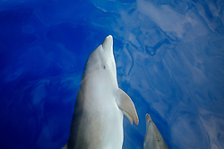 wild bottlenose dolphins bow-riding, Tursiops truncatus, off Kona Coast, Big Island, Hawaii, Pacific Ocean