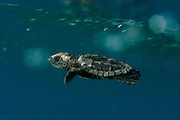 With the simultaneous fore-flippers stroke of underwater-flight the tiny Loggerhead Sea Turtle (Caretta caretta) swims, dives and surfaces at an astonishing speed. | Unechte Karettschildkröte (Caretta caretta)