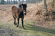 Exmoor pony used for conservation grazing Suffolk Sandlings heathland, Upper Hollesley Common, Sutton