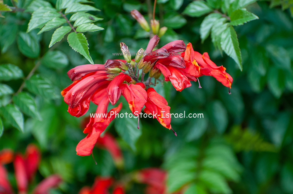 Flame trumpet or Orange trumpet also commonly known as flamevine or orange trumpetvine, is a plant species of the genus Pyrostegia of the family Bignoniaceae originally endemic to Brazil, but now a well-known garden species