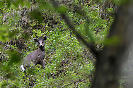 Tufted Deer, Elaphodus cephalophus, photographed in a forest in Tangjiahe National Nature Reserve, Sichuan, China