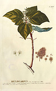 Coloured Copperplate engraving of a Heliocarpus plant from hortus nitidissimus by Christoph Jakob Trew (Nuremberg 1750-1792)