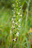 My favorite of the native piperia orchids, the flat-spurred orchid is found only in the western states of Washington, Oregon and California, and also in the Canadian province of British Columbia. It is also one of the easiest to identify. The white flowers are quite large, and the sepals have a green stripe through the center of them. More strikingly, the extra-long tube-like or horn-like spur is almost always horizontal to the stem. In this case, it wasn't exactly horizontal, but close enough to fit the description. The closely related elegant piperia (Piperia elegans) also has a greatly elongated spur, with similar flowers, but the spur hangs downward against the stem. This was one of several found in a deeply wooded area in rural Thurston County between Yelm, Washington and Mount Rainier.