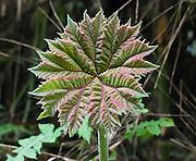 A 6 inch young leaf unfurls into a giant 3 foot diameter leaf in Bellavista Cloud Forest Reserve, near Quito, Ecuador, South America.