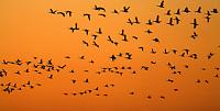 21.04.2009<br /> Brent Goose (Branta bernicla) Örvös lúd<br /> Hallig Hooge, Germany