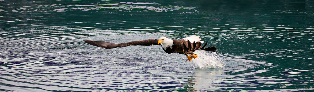 Alaska. Panorama view of Bald Eagle (Haliaeetus leucocephalus) carrying a recently caught fish with wings reaching to escape with its prize, Kachemak Bay.