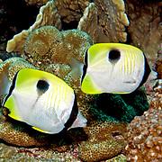 Teardrop Butterflyfish inhabit reefs. Picture taken Banda, Indonesia.