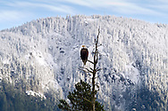 A Bald Eagle (Haliaeetus leucocephalus) with a snowy Mount Woodside in the background near the Harrison River in British Columbia, Canada.  Photo was made during the Fraser Valley Bald Eagle Festival.
