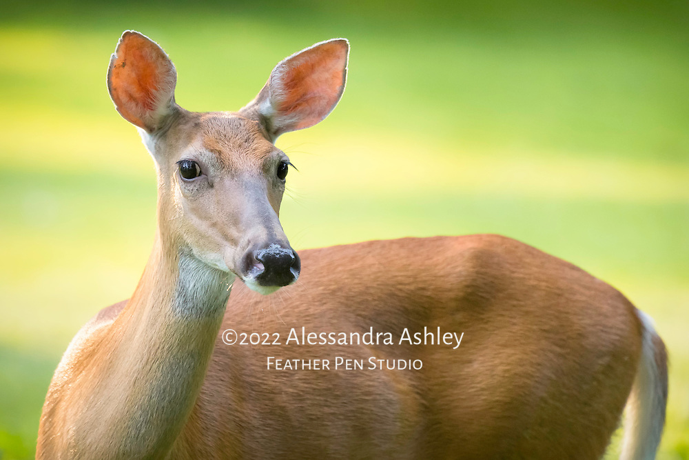 White tailed doe, photographed in late evening light.
