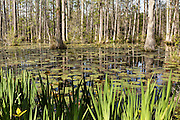 Lilypads and Iris in the blackwater bald cypress and tupelo swamp during spring at Cypress Gardens April 9, 2014 in Moncks Corner, South Carolina.