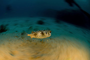 Israel, Eilat, Red Sea, - Underwater photograph of a White-spotted Puffer, Arothron hispidus