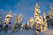 Trees in heavy snow at sunset in Red Heather Meadows, Garibaldi Provincial Park, British Columbia, Canada.
