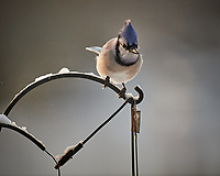 Blue Jay. Image taken with a Nikon D5 camera and 600 mm f/4 VRII lens (ISO 1250, 600 mm, f/4, 1/1250 sec)