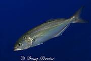bluefish (USA), tailor (Australia) or elf (South Africa), Pomatomus saltatrix, Victoria, Australia