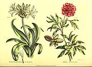 Pancratium mabitimum (Sea Pancratium) and Paeonia (Levant Paeony) from Vol II of the book The universal herbal : or botanical, medical and agricultural dictionary : containing an account of all known plants in the world, arranged according to the Linnean system. Specifying the uses to which they are or may be applied By Thomas Green,  Published in 1816 by Nuttall, Fisher & Co. in Liverpool and Printed at the Caxton Press by H. Fisher