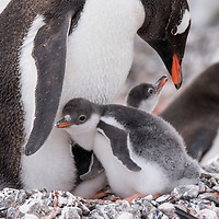 Two gentoo penguin chicks nuzzle underneath an adult penguin on a rocky nest at Port Lockroy, Antarctica.