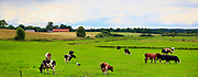 Krowy pasące się na mazurskich łąkach w okolicach Gołdapi
