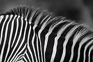 Grevy's Zebra painted in black and white stripes, Lewa Kenya.