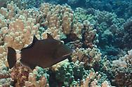 Bridled Triggerfish, Sufflamen fraenatum, (Latreille, 1804), Maui Hawaii