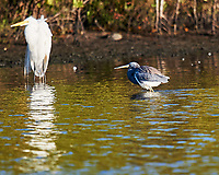 Great Egret (Ardea alba), Tricolored Heron (Egretta tricolor). Black Point Wildlife Drive. Merritt Island National Wildlife Refuge. Image taken with a Nikon D3s camera and 600 mm f/4 VR lens.